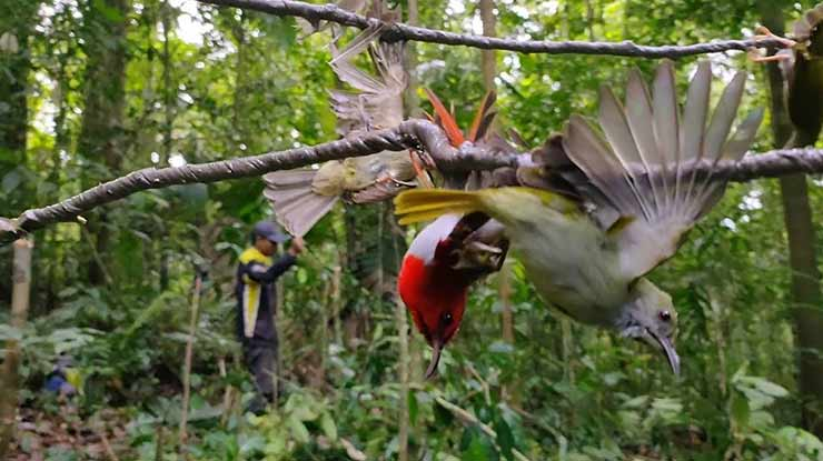 Kelebihan dan Kekurangan Menjerat Burung dengan Getah Pohon