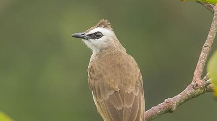 Ciri ciri burung trucuk Jantan dari Lingkar Mata