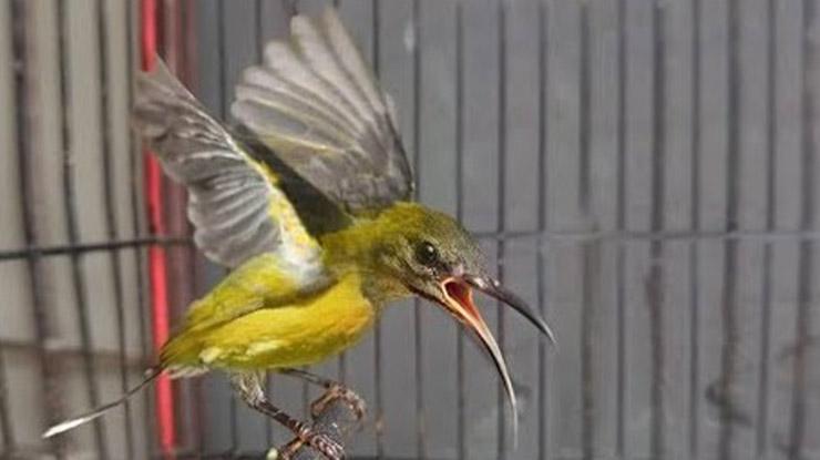 Membuat Burung Rajin Berkicau