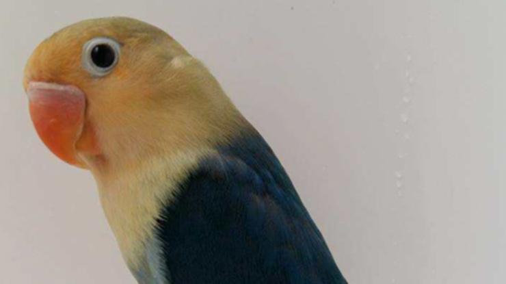 Manfaat Biji Sawi Menajamkan Pengelihatan Lovebird