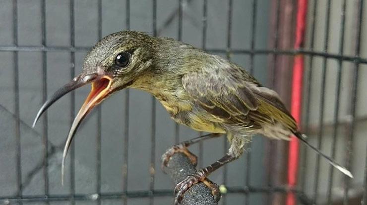 manfaat Rudjak Nektar Yaitu Mengatasi Kebotakan Pada Burung