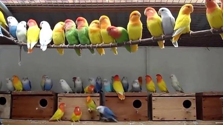 Menggunakan Pasangan Lovebird Lain