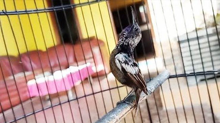 Manfaat Rudjak Nektar yaitu Menjadikan Burung Tampil Lebih Prima