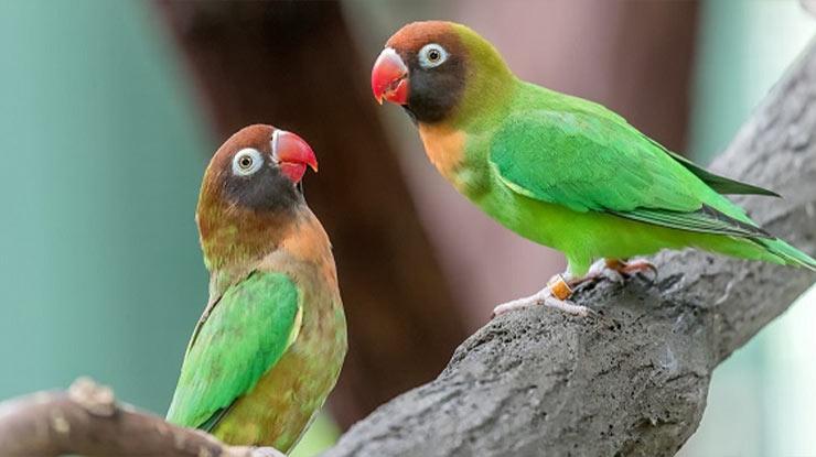 Manfaat Biji Sawi Untuk Lovebird Menjaga Kestabilan Birahi