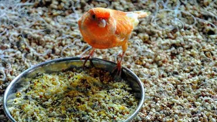 Oleskan pada Pakan EF Burung