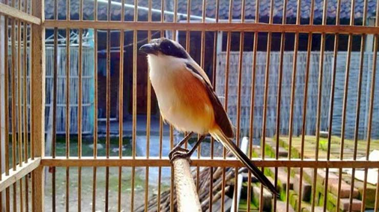 Paruh Burung Cendet Jantan