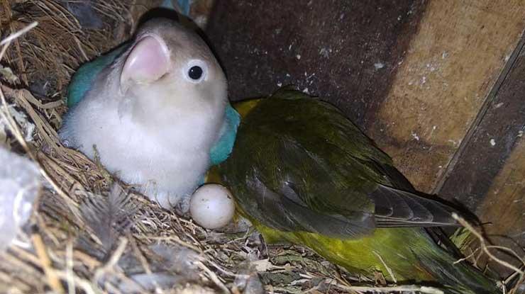 Penyebab Lovebird Susah Bertelur