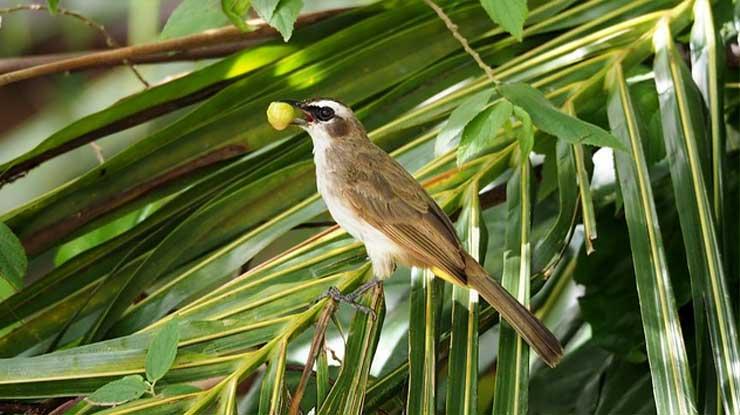 Ciri Ciri Burung Trucuk Jantan dari Postur Tubuh