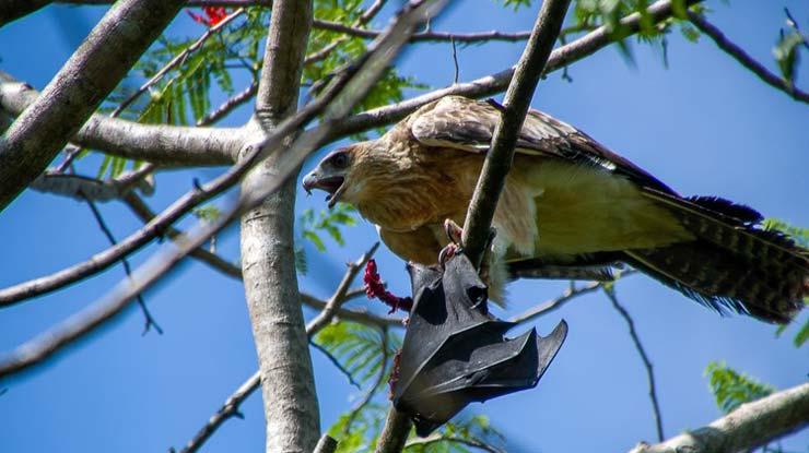 Rajawali Papua Jenis Burung Elang di Indonesia