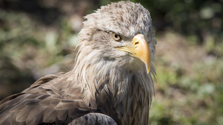 Sikep Mata Putih Jenis Burung Elang di Indonesia