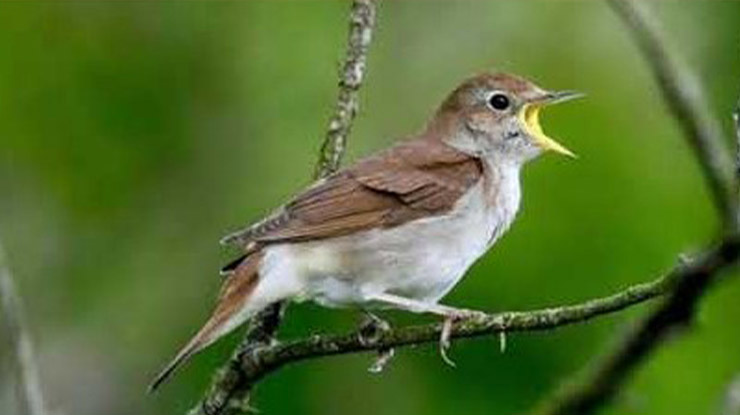 Suara Burung Pelanduk Semak Betina