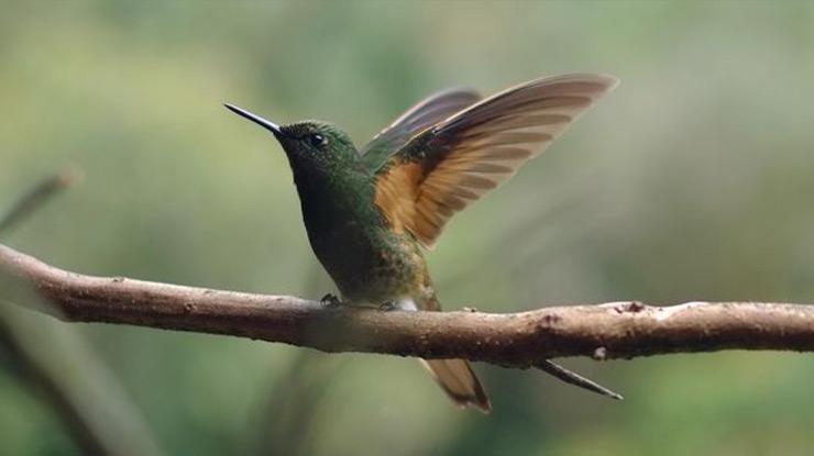 Waktu yang Tepat Memikat Burung dengan Pulut