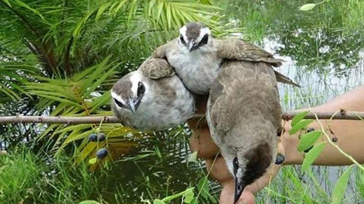 Waktu yang Tepat Untuk Jebak Burung