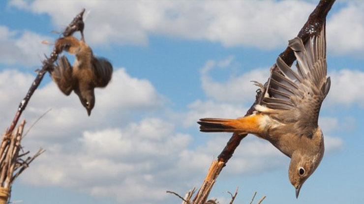 Waktu yang Tepat Cara Menjerat Burung dengan Getah Pohon