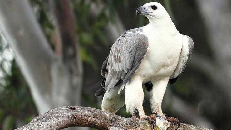 Burung Elang Laut Dada Putih