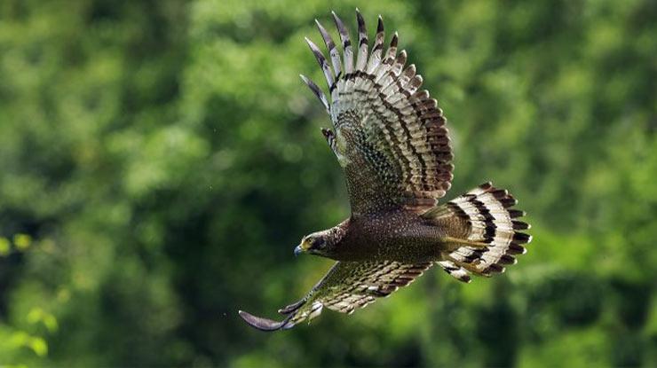 Burung Elang Ular Bido