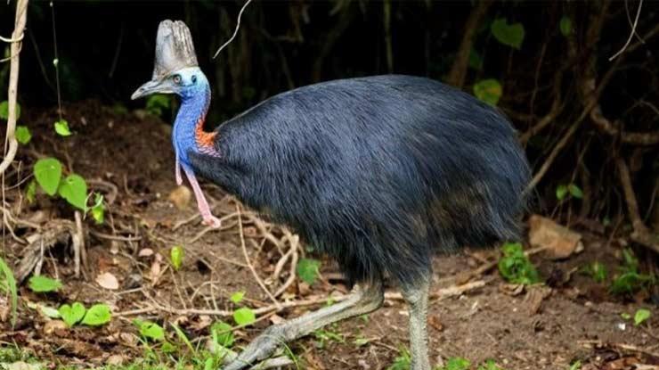 Burung Terbesar di Irian Jaya adalah Kasuari