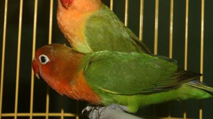 Ciri Ciri Lovebird Taiwan