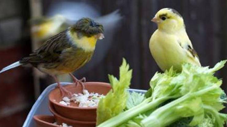 Manfaat Kroto Untuk Burung Kenari