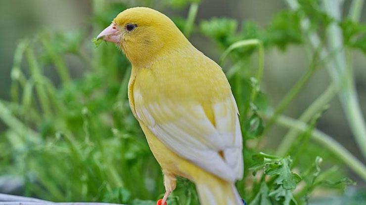 Menyehatkan Burung Kicau