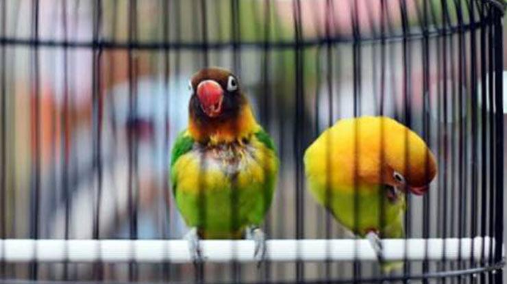 Pengertian Lovebird Konslet Betina Unthulan