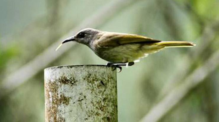 Perbedaan Burung Cucak Kombo Jantan dan Betina