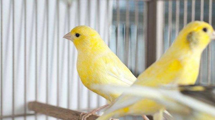 Rumus Persilangan Jenis Burung Kenari
