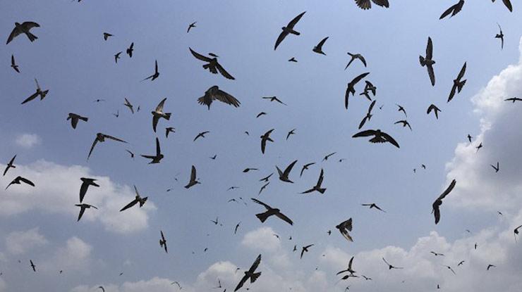 Suara burung Walet dan Sriti