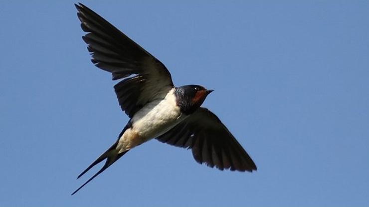 Warna Bulu burung Walet dan Sriti