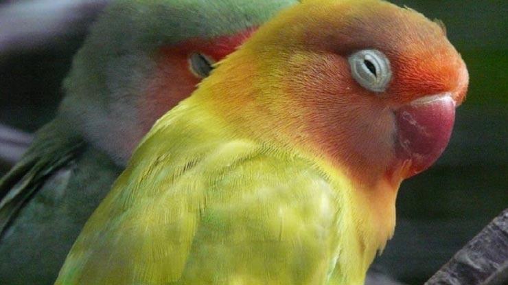 Cara Menaikkan Birahi Lovebird