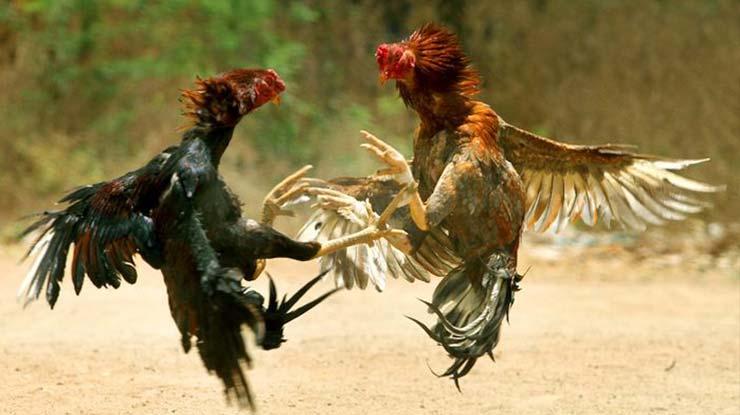 Memanjangkan Nafas Untuk Ayam Bangkok
