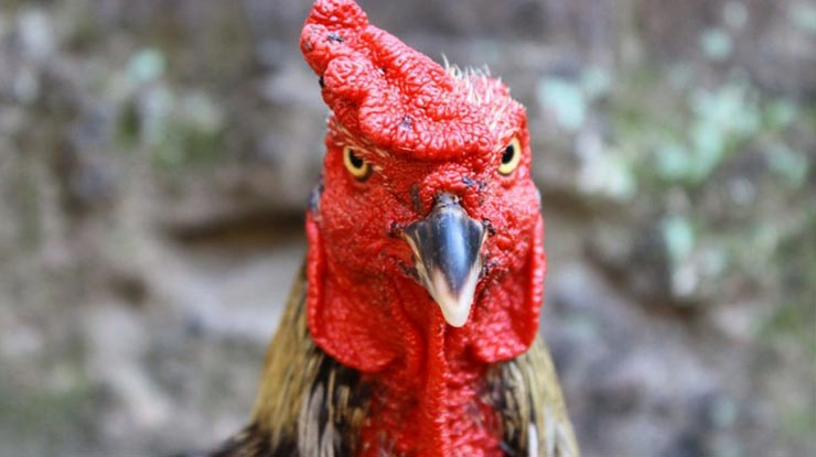 Manfaat Memerahkan Wajah Ayam Bangkok